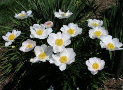 Images of Paeonia Lactiflora Flowers.PNG