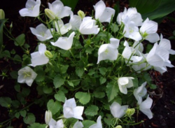 Images of white Campanula carpatica.PNG