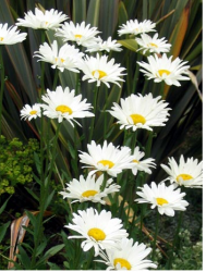 Images of white daisies shasta flowers.PNG