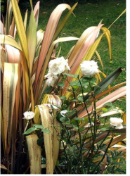 Images of white rose flax flowers in garden.PNG
