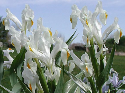 Iris magnifica alba white flowers.PNG