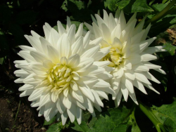 Light yellowish white flowers images.PNG