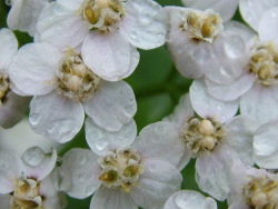 Photo of white spring flowers.PNG