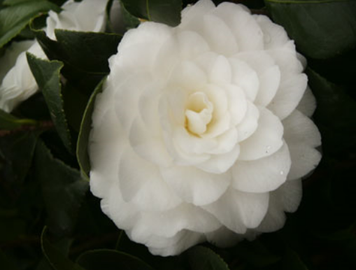 Photos of Camellia Japonica flower.PNG