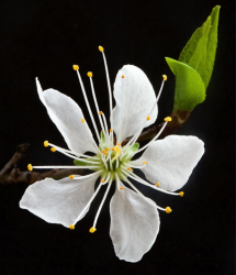 Photos of white flower.PNG