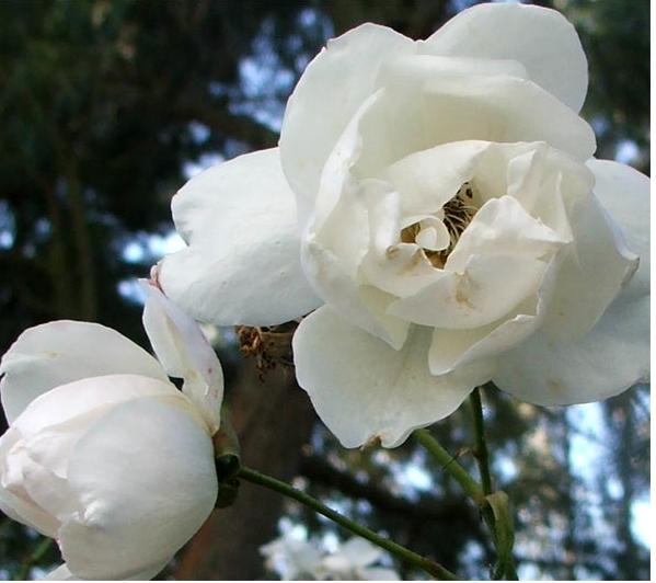 White winter flowers photos of white roses winter flowersg mightylinksfo