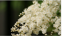 Picture of beautiful white flowers in small tiny size.PNG