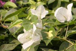 Picture of garden tropical white flowers.PNG