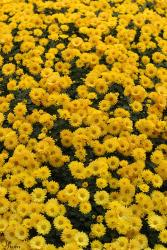 golden yellow daisy flowers field.jpg