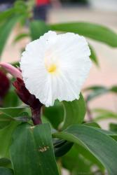 White Tropical Flower with No Petal and Yellow Center from Central America.jpg