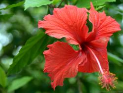 Red Hibiscus Flower from Roatan Honduras.jpg