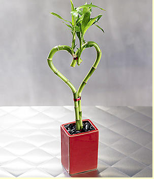 Lucky bamboo in heart shape_very unique valentines day.PNG
