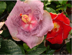 Hibiscus rosa sinensis flowers picture.PNG