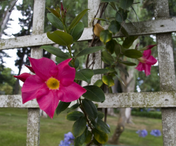 Aloha flowers in dark pink and yellow center.PNG