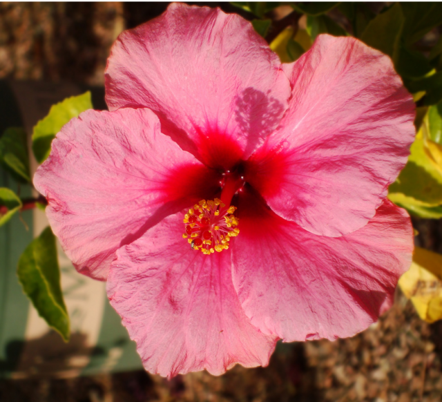 Beautiful Hawaiian pink flower pictures.PNG