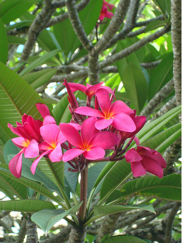 pink hawaiian flowers pictures, Beautiful flower