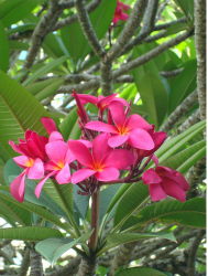 Bright pink Hawaiian flowers pictures.PNG