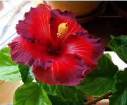 Dark rich red hibiscus rosa sinensis Nightfire flower.PNG