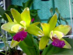 Green Cattleya flowers with purple pink centers.PNG