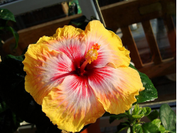 Hibiscus rosa sinens flower in three tones.PNG
