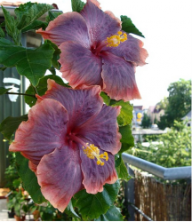 Hibiscus rosa sinensis Gator Pride in unique color.PNG