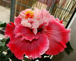 Hibiscus rosa sinensis Magnifique flower in red and light pink.PNG
