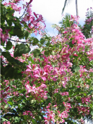 Light pink hawaiian flowers tree.PNG