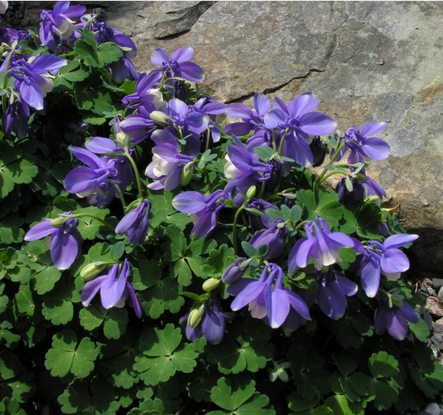 white and purple spring flowers columbine hires p hd, Beautiful flower