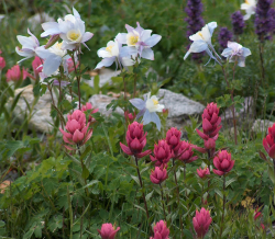 White columbine flowers in spring garden.PNG