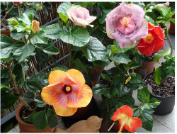 Picture of hibiscus rosa sinensis flowers.PNG