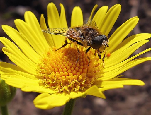 Golden Daisy Flower With Bee Jpg 1 Comment