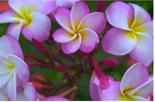 Picture of Plumeria flowers in pink, white and yellow center.PNG
