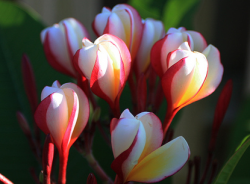 Plumeria flowers picture.PNG