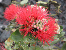 Red Ohia lehua flowers picture.PNG
