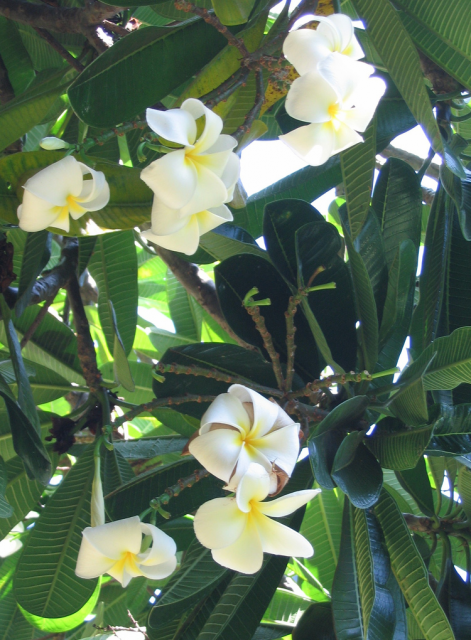 Smelling good hawaiian flowers  in white and yellow patterns.PNG