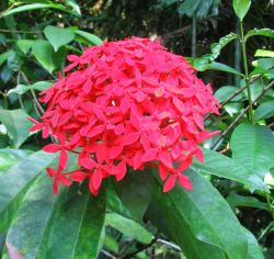 Sweet taste hawaiian flower in red.PNG