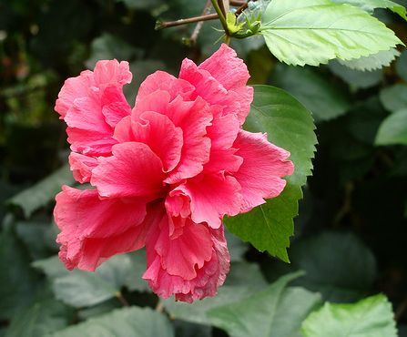 hibiscus rosa sinensis flower in bright pink, Beautiful flower