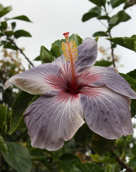 Unique purple Hibiscus flower.PNG