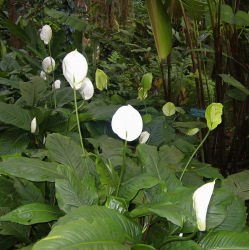 White Naupaka flowers also known as Half Flowers picture.PNG