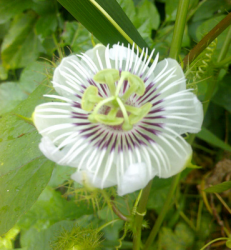 White Passion flower with purple lines.PNG