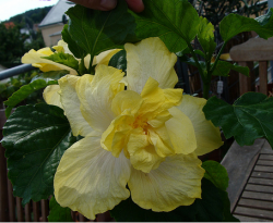 Yellow hibiscus rosa sinens flower picture.PNG