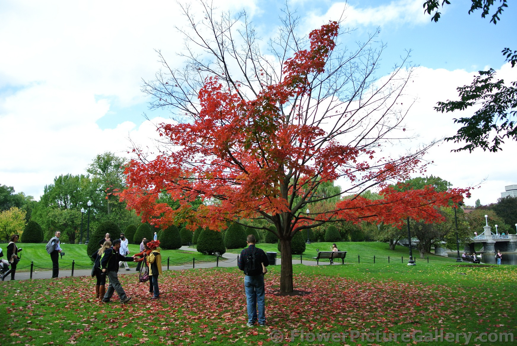 Maple tree with bright red leaves at Boston Public Garden during autumn.jpg