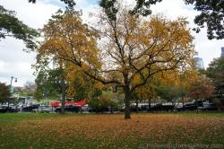 Large with orange leaves with many fallen at Boston Public Garden.jpg