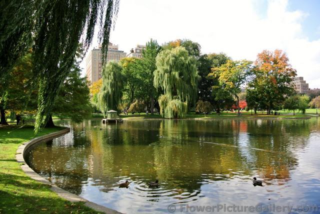 edge of boston public garden pond with ducks in water jpg hi