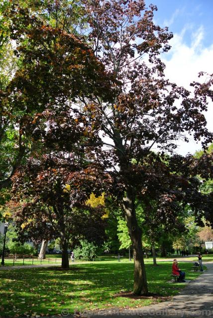 Dark red-brown leaves at Boston Public Garden.jpg