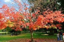 Beautiful red leaf maple tree with yellow and green leaves in October Boston Public Garden.jpg