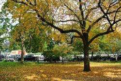 Yellow leaves strewn on grass by majestic maple tree Boston Public Garden.jpg