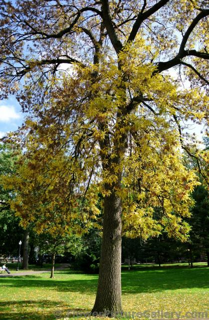 Yellow fall leaves at Boston Public Garden.jpg