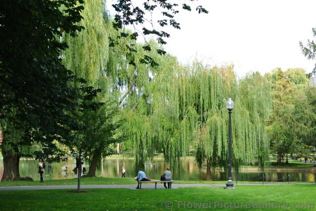 Wispy large trees next to pond at Boston Public Garden.jpg