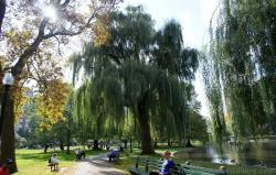 Weeping tree at Boston Public Garden.jpg
